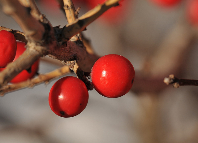 Winterberry flickr image by HorsePunchKid