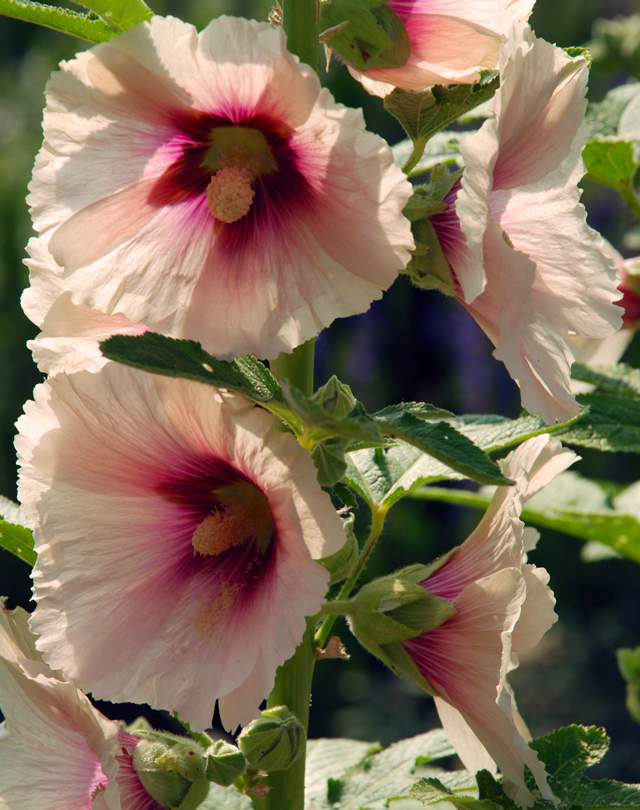 Hollyhock at Loseley Park Lisa Cox Garden Designs