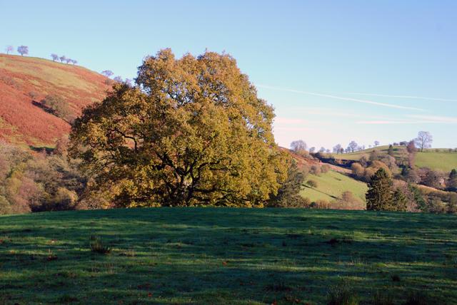 Oak tree in Welsh hills Lisa Cox Garden Designs