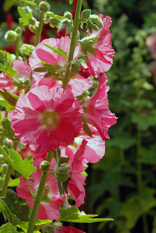 Pink hollyhock at Loseley Park Lisa Cox Garden Designs