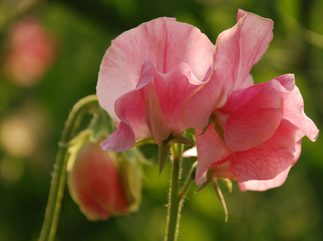 Pink sweet pea at Loseley Park Lisa Cox Garden Designs