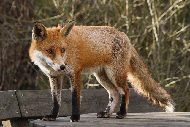 Fox by Jans Canon Flickr