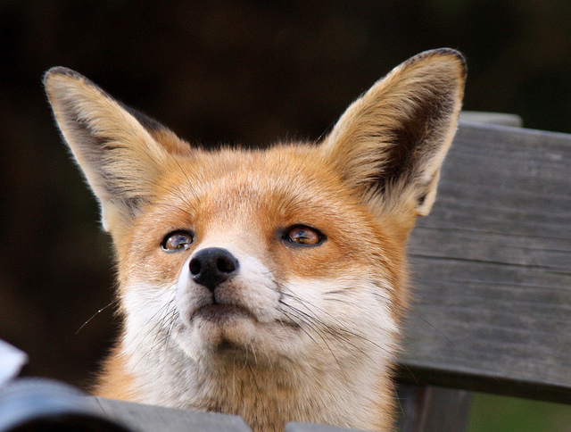Fox face by Jans Canon Flickr