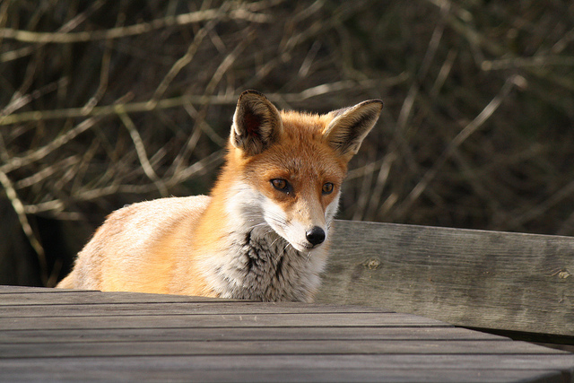 Fox image by Jans Canon Flickr