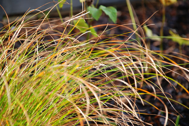Carex in North London front garden Lisa Cox Designs