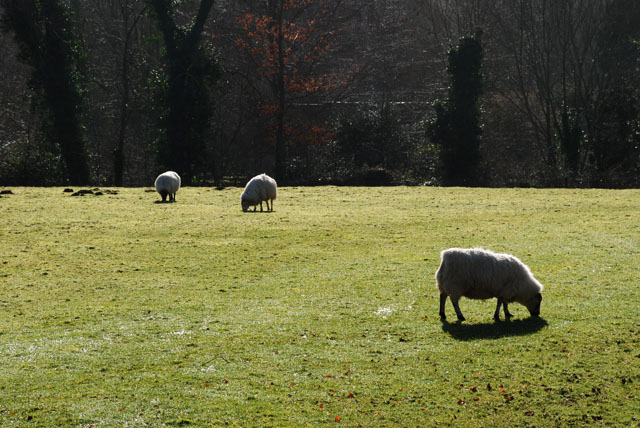 Sheep in the Wye Valley Lisa Cox Garden Designs