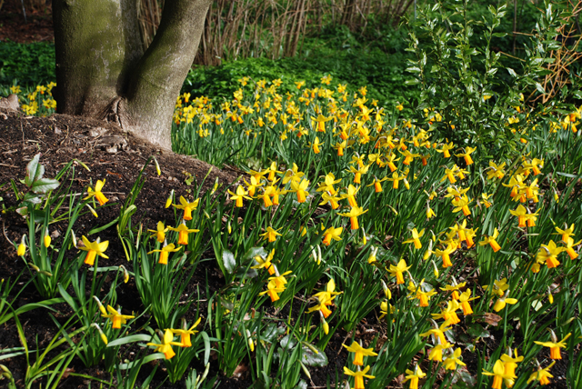 Dwarf Narcissus at RHS Garden Wisley Lisa Cox