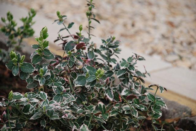 Euonymus Emerald Gaiety Lisa Cox Garden Designs
