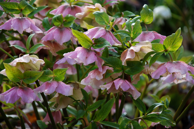 Hellebores at RHS Garden Wisley Lisa Cox Designs