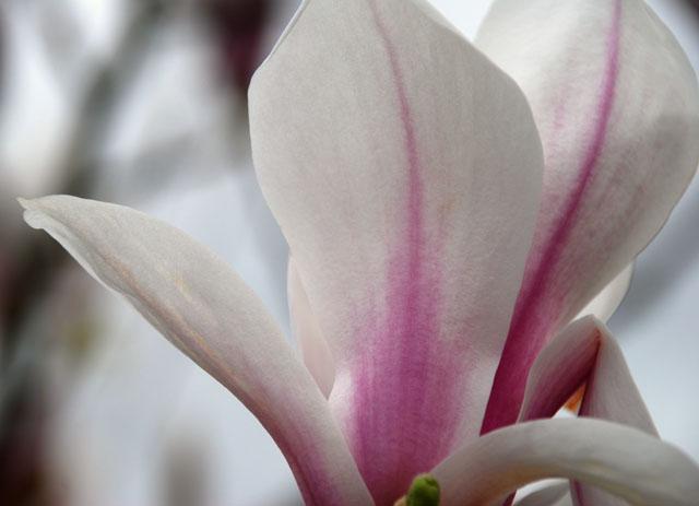 Magnolia blossom Lisa Cox Garden Designs