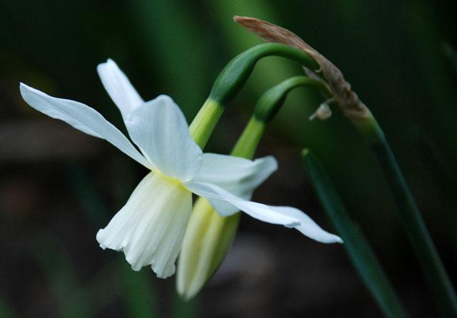 Narcissus Thalia Lisa Cox Garden Designs