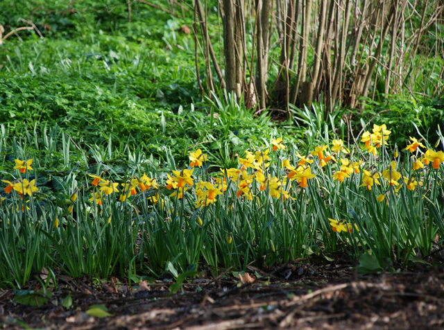 Narcissus at RHS Garden Wisley Lisa Cox
