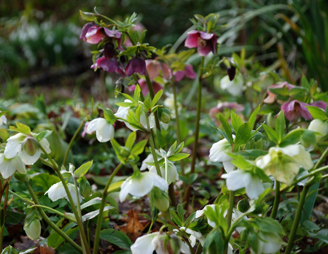 Pink & White Hellebores at RHS Garden Wisley Lisa Cox Designs