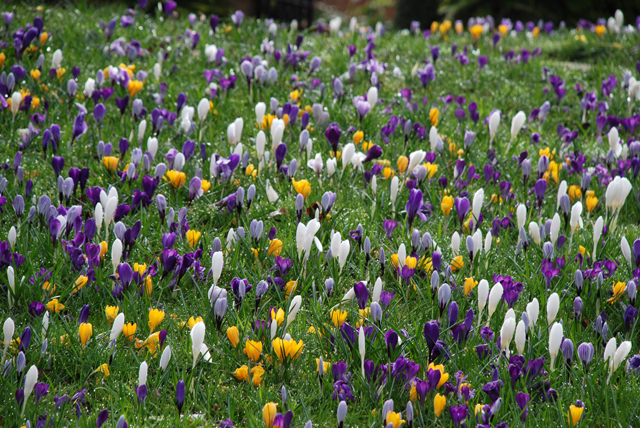 Spring crocus at RHS Garden Wisley Lisa Cox Designs
