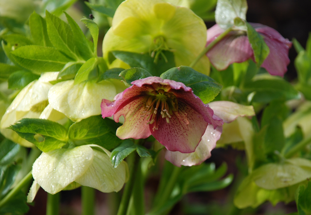 White & Pink Hellebores at RHS Garden Wisley Lisa Cox Designs