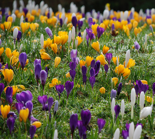 crocus at RHS Wisley Garden Lisa Cox Designs