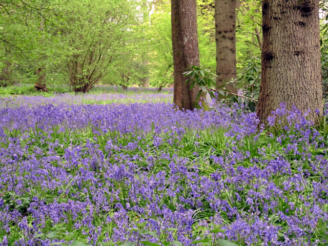 Bluebell season at Winkworth Lisa Cox Garden Designs