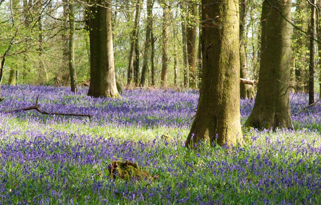 Bluebell wood White Down Surrey Lisa Cox Garden Designs