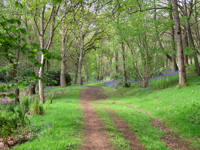 Bluebell wood near Godalming Surrey Lisa Cox Garden Designs