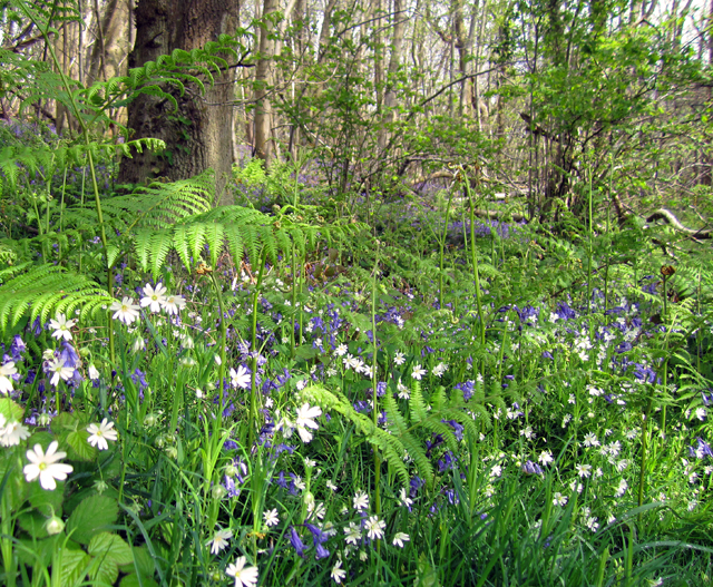 Bluebells and Wood Anemone Lisa Cox Garden Designs
