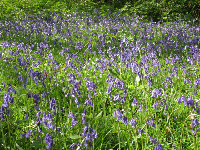 Bluebells at Winkworth Lisa Cox Garden Designs