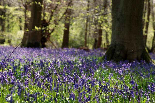 Bluebells in White Down Surrey Lisa Cox Garden Designs