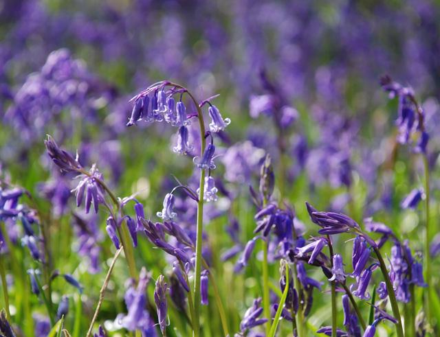 English bluebells Lisa Cox Garden Designs