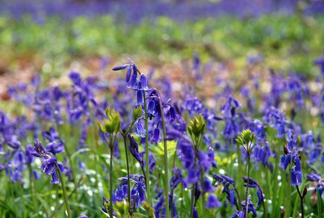 English bluebells at White Down Lisa Cox Garden Designs