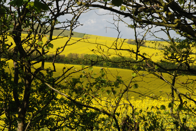 Rape fields in Sussex Lisa Cox Garden Designs