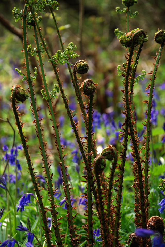 Unfurling bracken fronds Lisa Cox Garden Designs