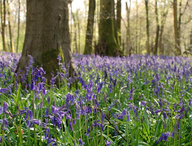 White Down Bluebell Wood Lisa Cox Garden Designs