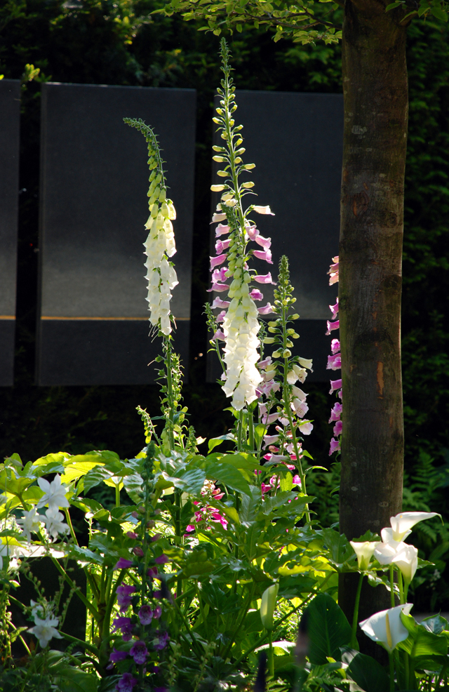 Foxgloves in Help for Heroes garden RHS Chelsea 2014 Lisa Cox