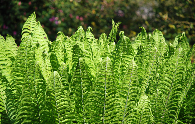 Fresh new ferns at RHS Garden Wisley Lisa Cox Designs