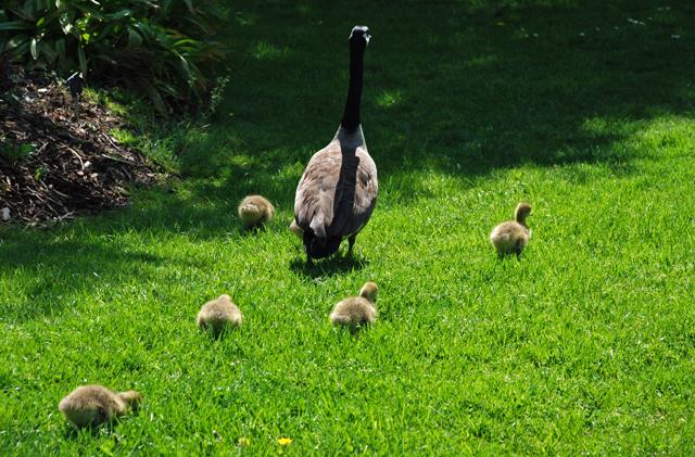 Goslings at RHS Garden Wisley Lisa Cox Designs