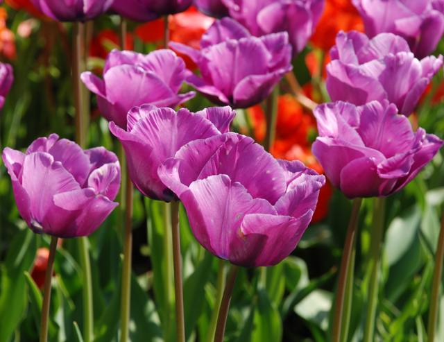 Hot pink tulips at RHS Garden Wisley Lisa Cox