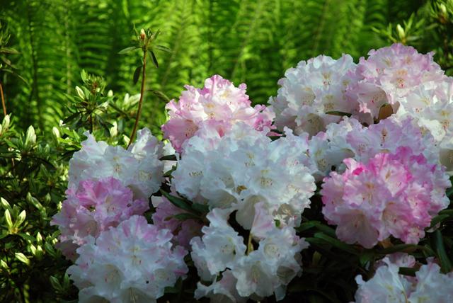 Rhododendron at RHS Garden Wisley Lisa Cox Designs