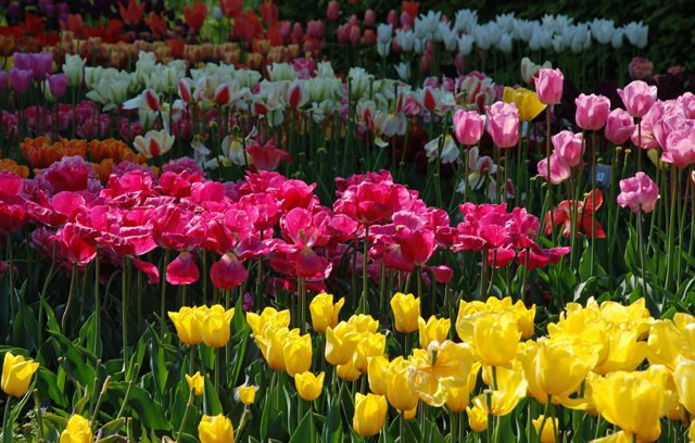 Tulips at RHS Wisley Lisa Cox Garden Designs