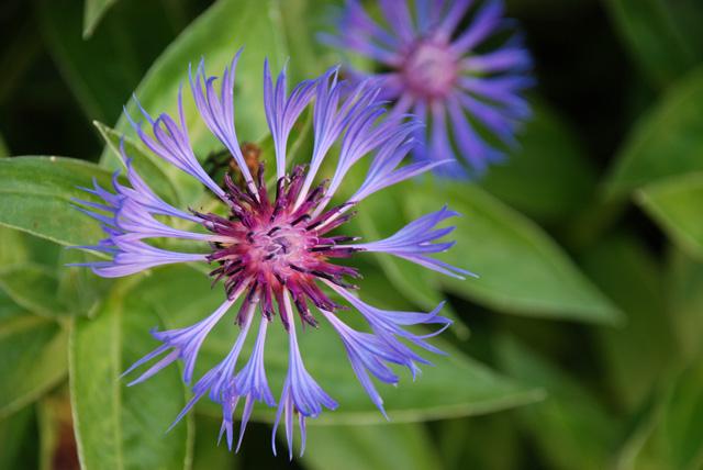 Centaurea montana in Saint Valery Sur Somme Lisa Cox Garden Designs