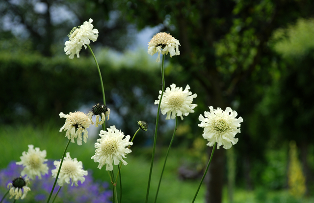 Cephalaria gigantea at Loseley Park Lisa Cox Garden Designs