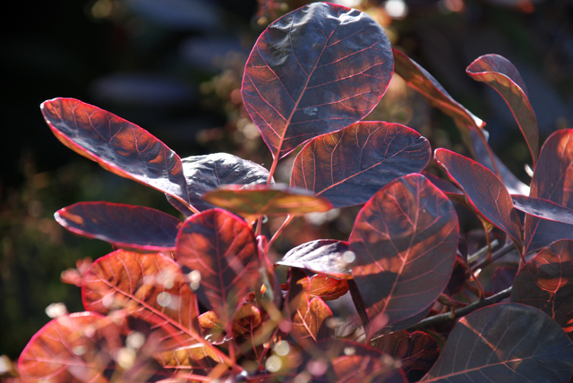 Cotinus Royal Purple in sunlight Lisa Cox Garden Designs