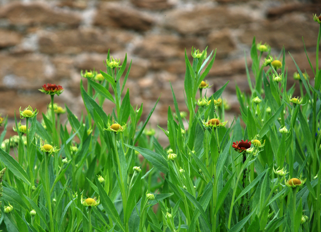 Helenium emerging Loseley Park Lisa Cox Designs