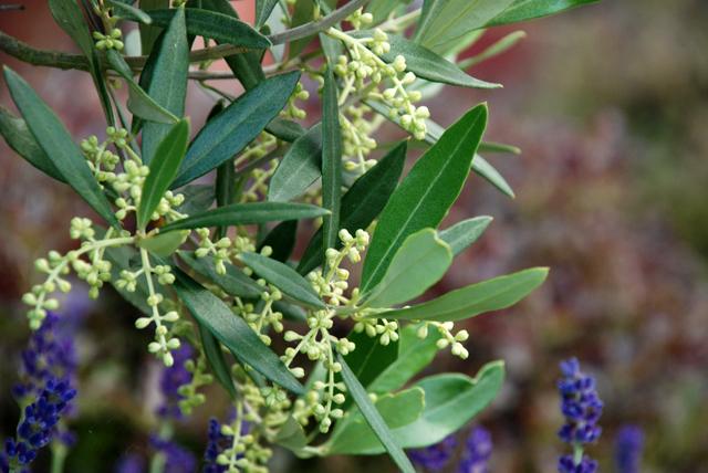 Olive tree in flower Lisa Cox Garden Designs
