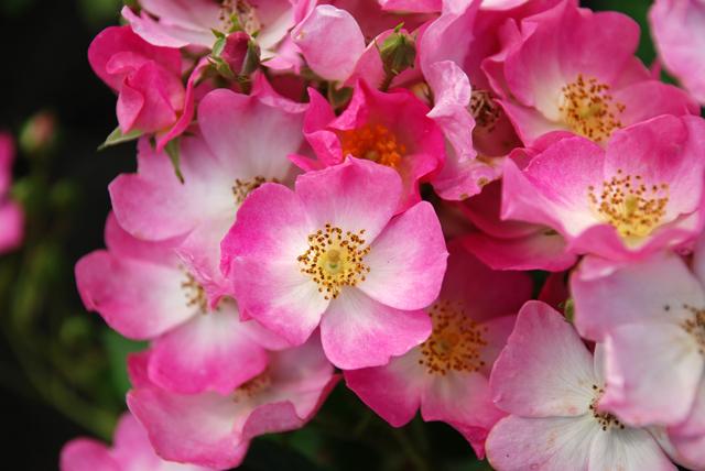 Rosa Ballerina Lisa Cox Garden Designs