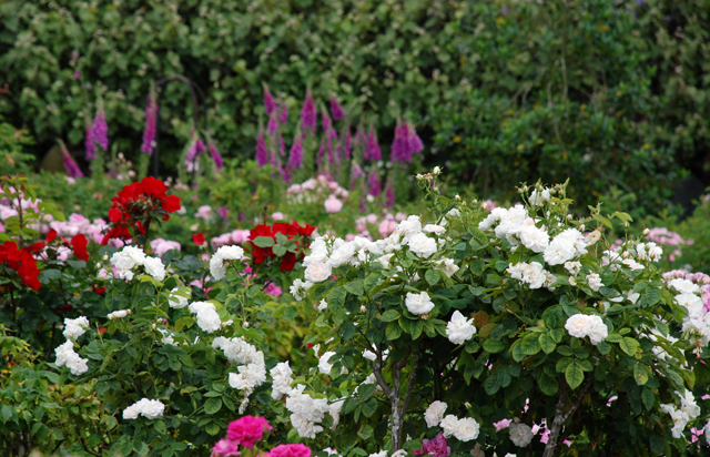 Rose garden Loseley Park Lisa Cox Designs