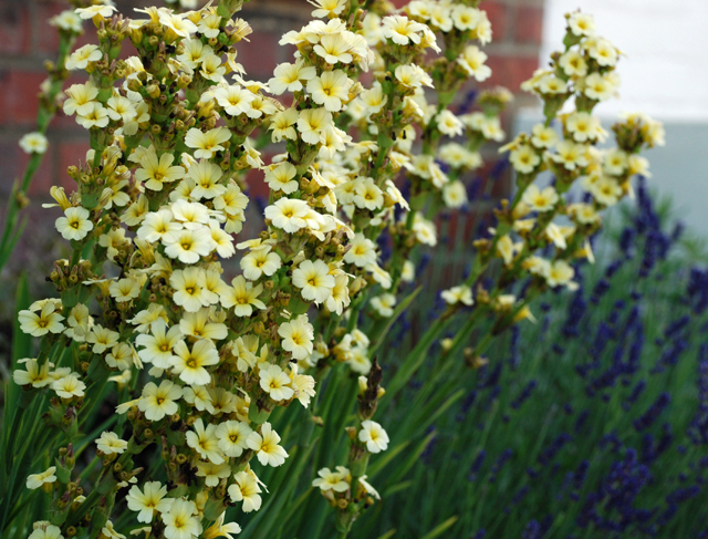 Sisyrinchium striatum Aunt May Lisa Cox Garden Designs