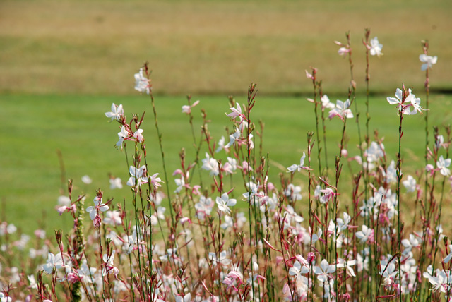 Gaura Whirling Butterflies at Glyndebourne Lisa Cox Garden Designs - Copy