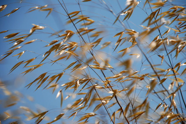 Stipa gigantea flower heads in the breeze Lisa Cox Garden Designs - Copy