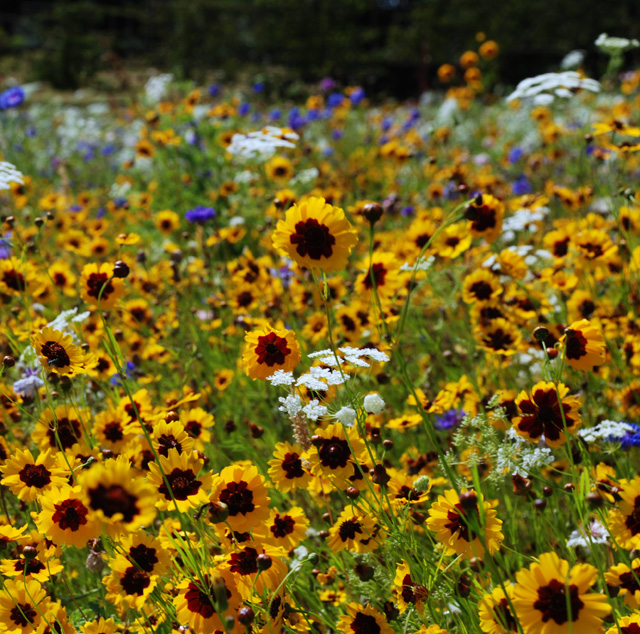 Wildflower meadow at Glyndebourne Lisa Cox Garden Designs - Copy