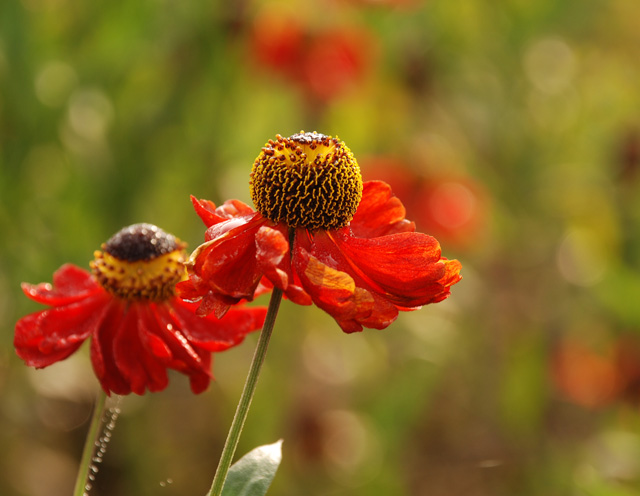 Helenium Morheim Beauty Lisa Cox Garden Designs