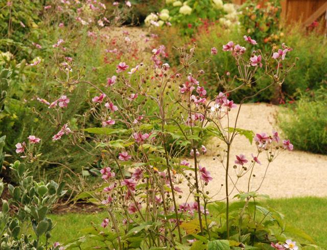 Japanese anemone Lisa Cox Garden Designs